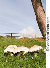 Mushrooms growing - Edible mushrooms growing wild in a...