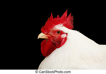Rooster isolated on black - Closeup of a white roosters head...