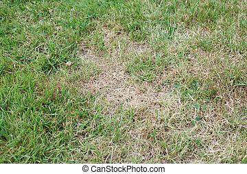 Unhealthy grass - Garden lawn with unhealthy brown dead...