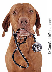 dog as a nurse - dog holding a stethoscope in mouth isolated...