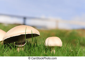 Mushrooms growing - Edible mushrooms growing wild in grass