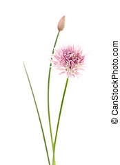 Chives - Fine art photo of chives against a white background