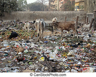 Streets of Kolkata. Animals in trash heap,