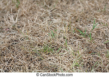Dead grass - Patch of brown grass dying in a drought