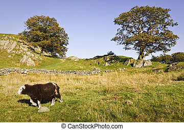 Sheep in English countryside - A herdwick sheep walks...