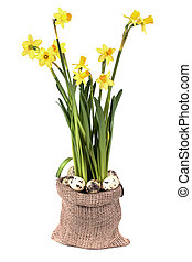 Yellow daffodils with quail eggs on a white background