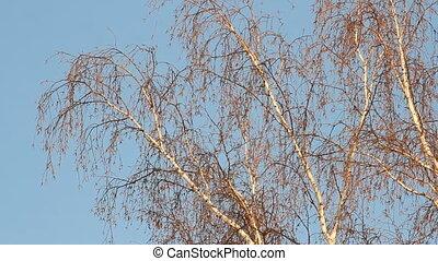 Birch forest. winter