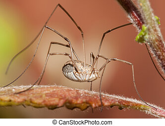 Close up Harvestman spider - Harvestman spider close up