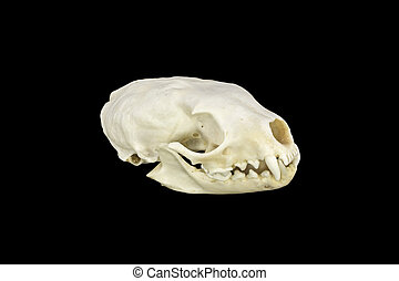 Marten skull - Sideview of a skull of a marten on black...