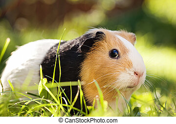 Guinea pig Cavia porcellus is a popular household pet