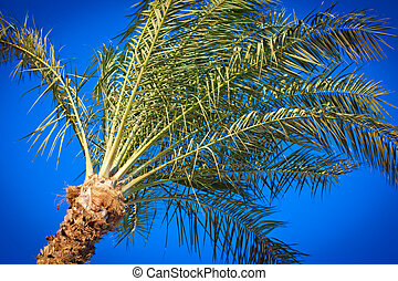 Silver Date Palm or Sugar Date Palm Phoenix sylvestris