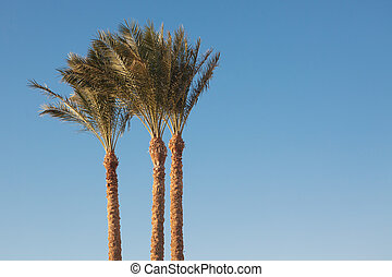 Silver Date Palm or Sugar Date Palm (Phoenix sylvestris)