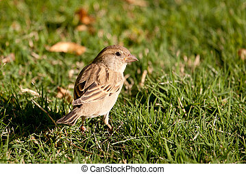 House Sparrow (Passer domesticus) in the grass