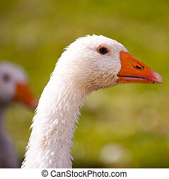 Domestic goose - White domestic goose on the farm