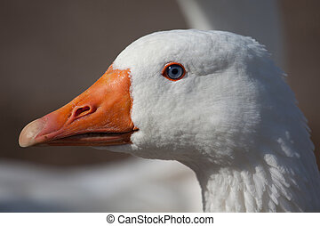 Domestic goose - White domestic goose detailed portrait