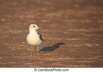 Caspian Gull Larus cachinnans on the Valtic sea coast