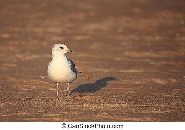 Caspian Gull  (Larus cachinnans) on the Valtic sea coast