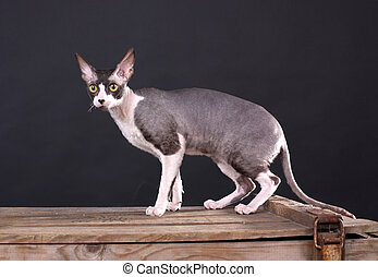 Cornish rex cat against the black background