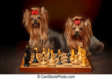 Two Yorkshire Terriers playing chess