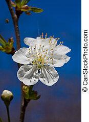 Sweet cherry Prunus avium - A branch of sweet cherry Prunus...