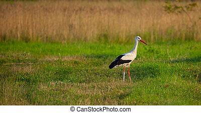 White stork (Ciconia ciconia) in the green meadow