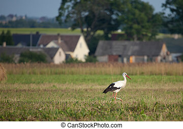 White stork (Ciconia ciconia) in the rural landscape