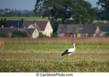 White stork (Ciconia ciconia) in the rural landscape