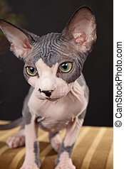 Canadian hairless - Sphynx Canadian hairless kitten on the...