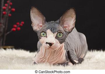 Sphynx kitten - Sphynx (Canadian hairless) kitten on the...