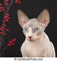 Sphynx kitten - Sphynx (Canadian hairless) kitten on the...