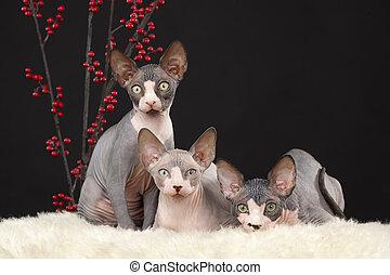 Three sphynx kitten - Three sphynx (Canadian hairless)...