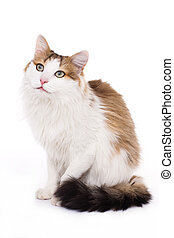 Longhaired housecat portrait against the white background