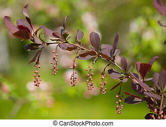 europeu, barberry, (Berberis, vulgaris, Var, atro-purpurea)