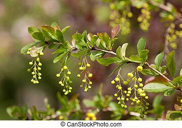 (berberis,  vulgaris),  barberry, europeu