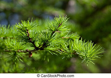 Larch tree branch in the spring