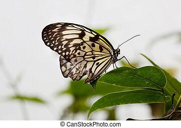 Paper Kite butterfly (Idea leuconoe) - Paper Kite or the...