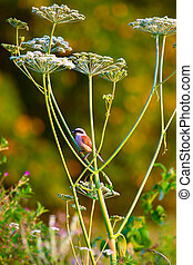 Red-backed Shrike (Lanius collurio) holds its pray in the...