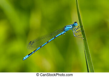 Common Blue Damselfly Enallagma cyathigerum on the grass