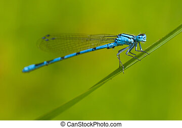 Common Blue Damselfly Enallagma cyathigerum on the grass,...