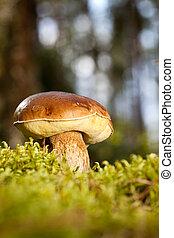 Boletus edulis - Porcini mushroom Boletus edulis