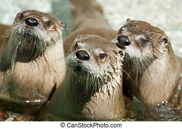 group of otters - Three otters. Focus on the on in the...