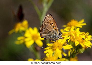 Scarce copper (Lycaena virgaureae)