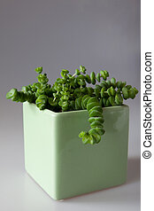Sedum - Potted plant Sedum in the green cubical pot