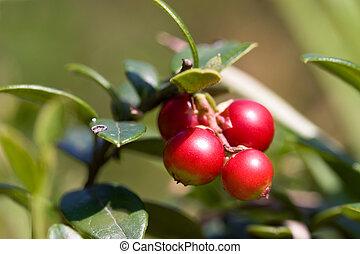 Lingonberries Vaccinium vitis-idaea