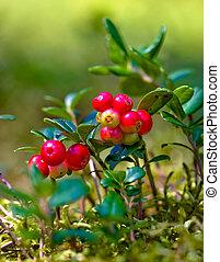 Lingonberries (Vaccinium vitis-idaea)