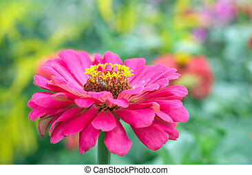 zinnia flowers - Blossoming pink zinnia flowers in summer...
