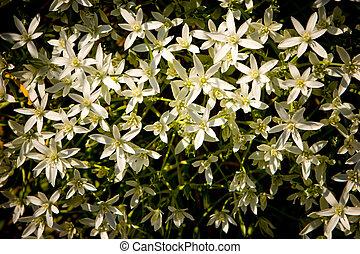 Ramsons (Allium ursinum) in the garden