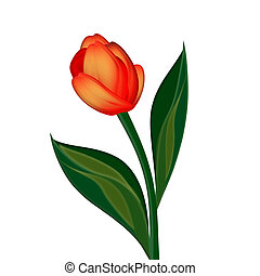 tulip flower - Tulip bud on white background
