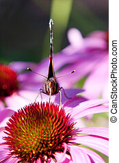 Red Admiral (Vanessa atalanta) on Purple coneflower...