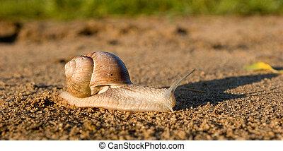 Snail - Burgundy snail Helix pomatia